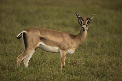 Grant's Gazelle Heart-Shaped Horns
