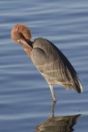 Reddish Egret Rests in the Water