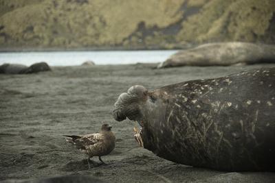 Southern Elephant Seal and Skua