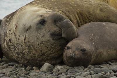 Southern Elephant Seals Mating