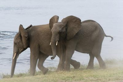 Young African Elephants Sparring