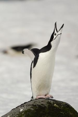 Chinstrap Penguin Calling