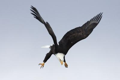 Bald Eagle Dives with Talons Out