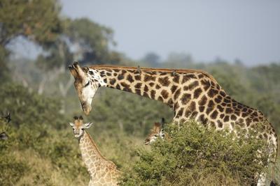 Giraffe Male and Calf