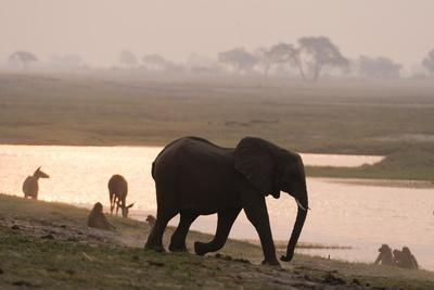 African Elephant Running to the River