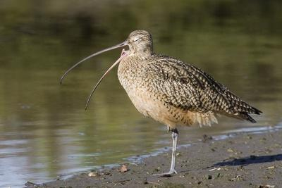 Long-Billed Curlew with Open Bill Showing Tongue