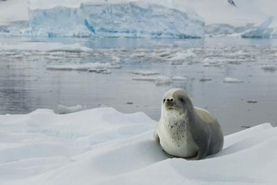Crabeater Seal on Ice