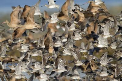 Large Flock of Shore Birds Takes Off