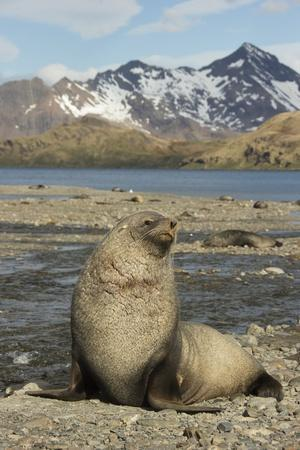 Antarctic Fur Seal on Shore