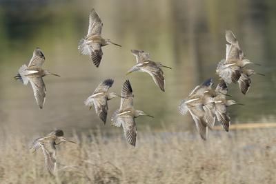 Flock of Short-Billed Dowitchers in Flight