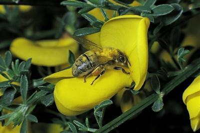 Apis Mellifera (Honey Bee) - Foraging and Covered with Pollen on a Broom Flower