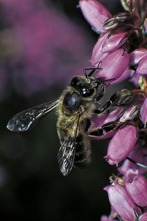 Apis Mellifera (Honey Bee) - Foraging on Bell Heather Flowers
