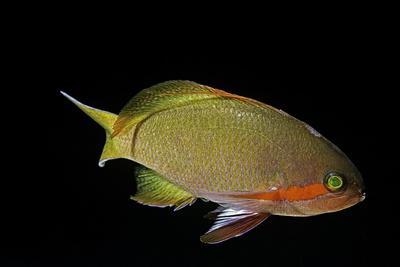 Pseudanthias Squamipinnis (Sea Goldie, Lyretail Coralfish, Lyretail Anthias)