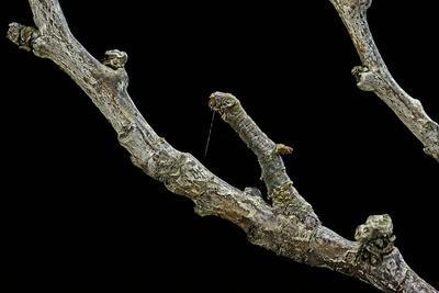 Gnophos Sp. (Annulet) - Caterpillar or Inchworm Camouflaged on Twig