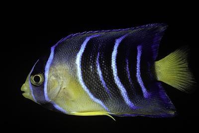 Holacanthus Ciliaris (Queen Angelfish, Blue Angelfish, Golden Angelfish) - Juvenile