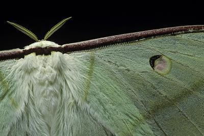 Actias Selene (Indian Moon Moth, Indian Luna Moth) - Wings Detail