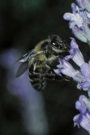 Apis Mellifera (Honey Bee) - Foraging on a Lavender Flower