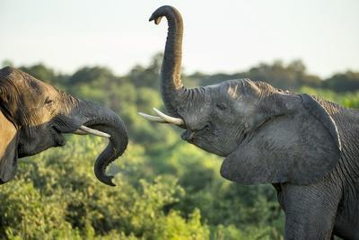 African Elephants Sparring, Chobe National Park, Botswana