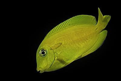 Acanthurus Olivaceus (Orangespot Surgeonfish) - Young