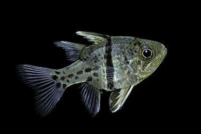 Sphaeramia Orbicularis (Orbiculate Cardinalfish, Chubby Cardinal, Polka-Dot Cardinalfish)