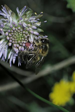 Apis Mellifera (Honey Bee) - Foraging on a Sheep's Bit Flower