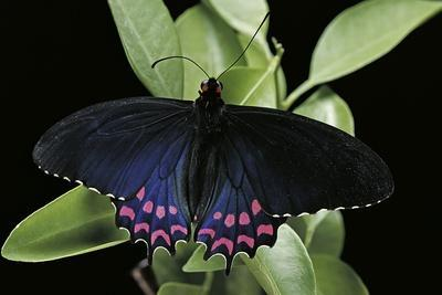 Parides Photinus (Pink-Spotted Cattleheart)