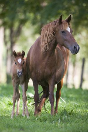 Peruvian Paso Colt with Quarter Horse Broodmare