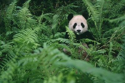 Giant Panda in Forest