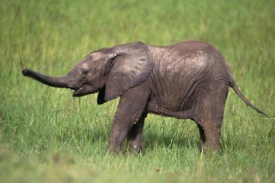 Baby African Elephant in Grass
