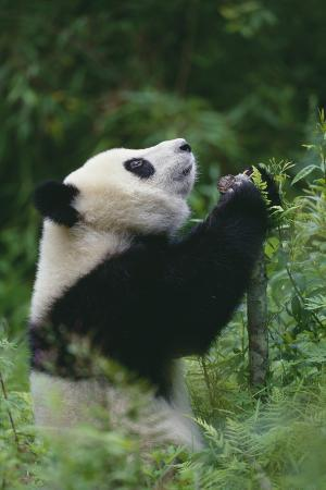 Panda in Grass Looking Up