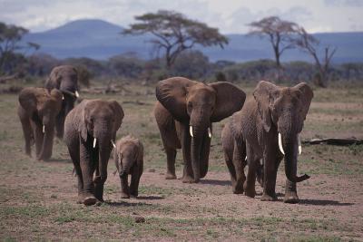 African Elephant Family Walking on Savanna