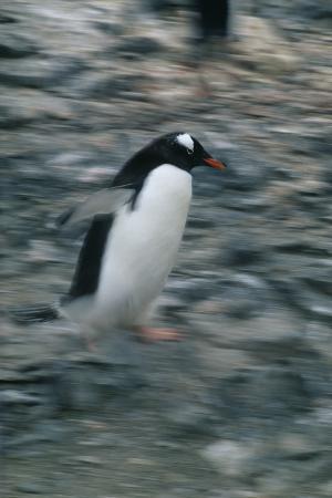 Gentoo Penguin Running on Rocks
