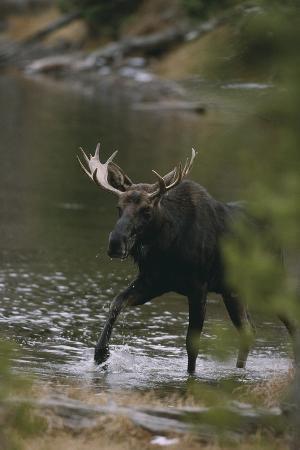 Bull Moose Walking in River
