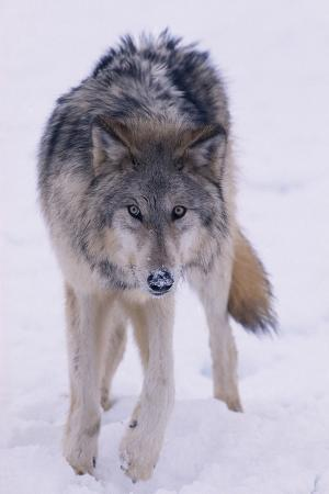 Gray Wolf Standing in Snow