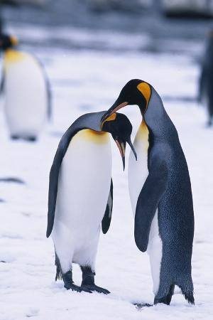 King Penguin Scratching Another Penguin's Neck