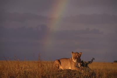 African Lioness and Rainbow
