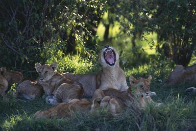 Lion Cubs Dozing under Trees