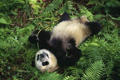 Giant Panda Cub Rolling on Forest Floor