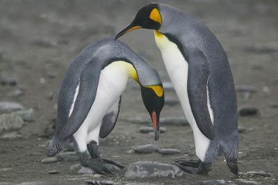 King Penguins Engaging in Mating Ritual