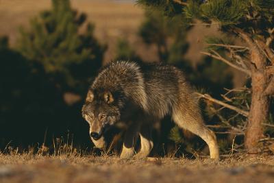 Gray Wolf Stalking