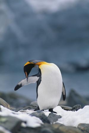 King Penguin Preening Wing