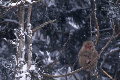 Japanese Macaque on Branch