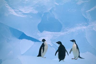 Adelie Penguins Standing on Ice Floe