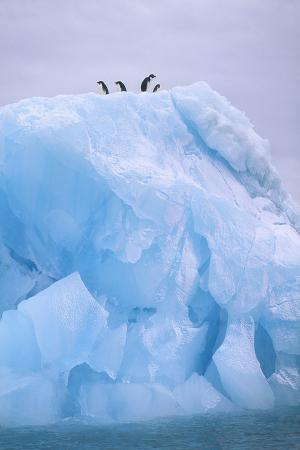 Adelie Penguins Standing on Top of Ice Floe