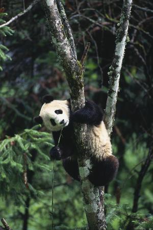 Panda Eating in Tree