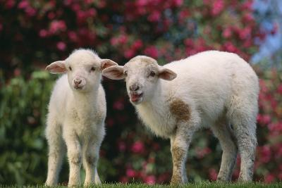 Lambs in Grass
