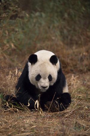 Panda Sitting in Grass