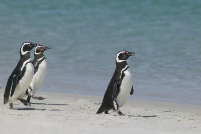 Magellanic Penguins Walking on Beach