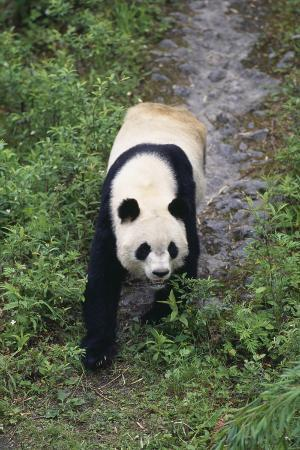 Giant Panda Walking on Forest Floor