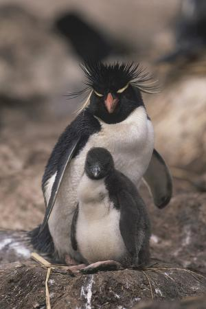 Rockhopper Penguin with Chick